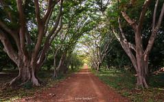 Flame Trees (Irene Becker) Tags: africa imagesofnigeria kaduna kadunastate nigeria nigerianimages nigerianphotos northnigeria westafrica northernnigeria rido