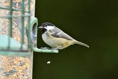 Breakfast for this Coal Tit (JerryGoulet) Tags: tit feathers wings colors rspb natural green feeders food coaltit birds rspbcoombesvalley sigma telephoto colours nature park beak portraits face closeup color animal cute eating posing reserve wildlife outside outdoors wilderness conservancy conservationism contemporary tree bird wood colour sigma150600 nikon d500 out faces