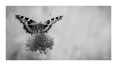 And now for something completely different (~Scimo~) Tags: sony rx10 zeiss bokeh insect butterfly blossom wings closeup nature summer nymphalidae flower monochrome macro beautiful natur nahaufnahme sommer schmetterling blüte schwarzweiss natural focus fokus handheld bw blackandwhite scimo