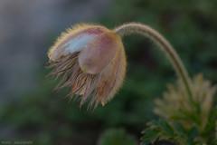Anémone Pulsatile - 2018-07-01 - Néouvielle (marczoccarato) Tags: pulsatilleprintanière nikond850 fleur macro anémoneprintanière pyrenees naturavista jeangabrielsoula
