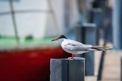 Seagull spotting (mirri_inc) Tags:
