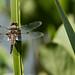 Dragonfly - RSPB Sandy
