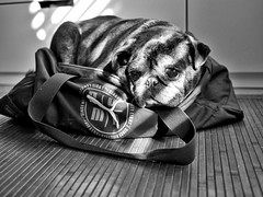 Galileo - Senility (Mauro Morelli) Tags: dog pets mops pug carlino bw lumix blackandwhite blackwhite mauromorelli