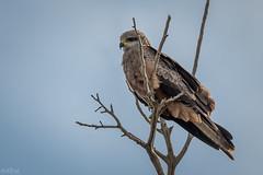 Black Kite DSC_3829 (BlueberryAsh) Tags: blackkite milvusmigrans raptor birdofprey kite westerntreatmentplant bird nikon nikond500 tamron150600