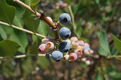 Millstone Creek Orchards (AJC2911) Tags: 506parkscrossroadschurchrd ramseur nc27316 blueberry blueberries bush ripe blue pink green leaf leaves millstone creek orchards orchard summer july south southern united states usa fruit bushes growing farm