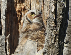 Great Horned Owl (pamfromcalgary) Tags: bird birdofprey greathornedowl fishcreekpark calgary pamhawkes