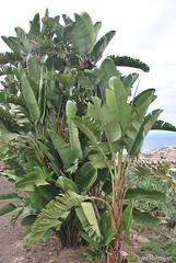 Плантації бананів, Тенеріфе, Канарські острови  InterNetri  118