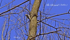 WOODPECKER ON A TREE WITHOUT LEAVES (Guy Lafortune) Tags: blue sky ciel bleu arbre tree branches branch oiseau bird picbois pic mineur woodpecker ïlebizard québec island printemps month march mois mars spring