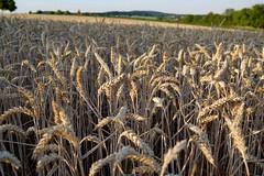 cornfield (piri198) Tags: fuji fujifilm fujinon xe2s xf xf23mmf2rwr lightroom lightroomcc landschaft landscape cornfield kornfeld weizen abendsonne