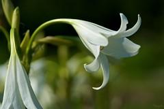 インドハマユウ Crinum latifolium (takapata) Tags: sony sel90m28g ilce7m2 macro nature flower