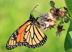 monarch male on common milkweed at Decorah Prairie IA 653A3187 (lreis_naturalist) Tags: monarch butterfly male nectaring common milkweed decorah prairie winneshiek county iowa larry reis