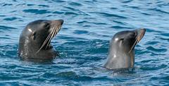 Australasian Fur Seals (robdownunder) Tags: a7riii sonyfe100400 seal australasianfurseal mammal water animal marine curious inthewild free natural sonyfe2xtc