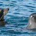 Australasian Fur Seals