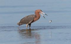 Never give up, never surrender! (Gary McHale) Tags: reddish egret fish fishing prey fort myers florida gary mchale feeding ngc npc coth5