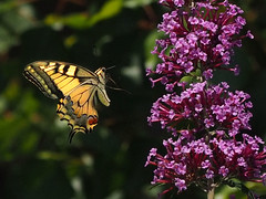 P7135152xx (BUMBI61) Tags: farfalle butterfly butterflies farfalla macro