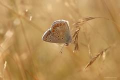 Evening warmth (Manon van der Burg) Tags: sigma105mm canon80d fortheloveofblues voorzichtiginhetveld natuurfotografie macrofotografie macrolover genieten driedubbeleflikflak vlinderen butterfly happydays commonblue icarus summerdream theblues