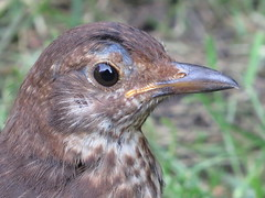 Young Blackbird (seanwalsh4) Tags: youngblackbird portrait nature bird