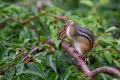 Oh no! (dbifulco) Tags: nature cherrytree chipmunk garden mammal newjersey wildlife