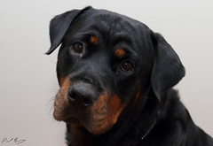 Rottweiler closeup (t!ge) Tags: rottweiler rottie rotty