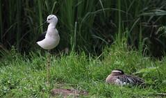 Compagni di viaggio (lincerosso) Tags: uccelli birds uccellimigratori cavaliereditalia himantopushimantopus marzaiola anasquerquedula bellezza armonia