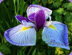 Roll Up the Rim - - - (FernShade) Tags: vancouverbc stanleypark iris irisflower paleblueiris flower flora nature garden macro