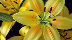 Day Lily (Paul den Ouden) Tags: flowers floral flora lily lilies yellow powellriver
