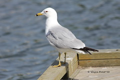Ring-billed Gull (Larus delawarensis) (Gerald (Wayne) Prout) Tags: ringbilledgull larusdelawarensis animalia chordata aves laridae charadriiformes larus delawarensis gillieslakeconservationarea cityoftimmins northeasternontario canada prout geraldwayneprout canon canoneos60d eos 60d digital camera photographed photography birds ringbilled gull gulls animals wildlife nature gillieslake conservation area city timmins northeastern northernontario canonlensef70300mmf456isusm lens ef70300mm f456 is usm