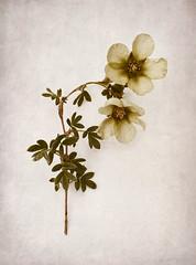 Potentilla fruticosa (shawn~white) Tags: 35mm canon6d plant potentillafruticosa cut flower nostalgia quirky retro texture vintage yellow