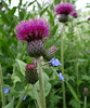 Scottish Thistle (Ian Robin Jackson) Tags: flower thistle nature scotland scottish cruickshankbotanicgardens aberdeen purple flora patterns beautiful green