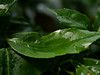 After the rain (absoluteforecast) Tags: leaf rain water pool green vibrant lush glossy spring showers forest plant curved