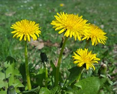 Taraxacum officinale (Iggy Y) Tags: taraxacumofficinale taraxacum officinale spring blossom flower yellow color flowers green leaves nature field plant maslačak dandelion sunny day light