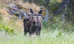 Älg (real.jtj) Tags: älg moose wildlife