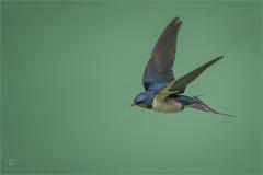Rauchschwalbe (Barn swallow) (tzim76) Tags: rauchschwalbe barn swallow hirundo rustica bif birds flight canon wildlife nature outdoor wasser flug