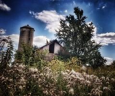 in bloom.... (BillsExplorations) Tags: barn weeds silo inbloom noxious healthy abandoned forgotten farm abandonedfarm old rural country ruraldecay overgrown barnsandfarms