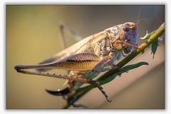 Sauterelles - La Decticelle cendrée (Pholidoptera griseoaptera) (pascal sabourin) Tags: france insecte sauterelle migneauxances techniquephoto poitoucharentes macro vienne faunesauvage