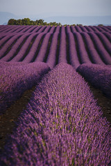 PROVENCE_2353_0618@ANDREAFEDERICIPHOTO (Andrea Federici) Tags: provenza provence lavanda valevole fioritura luglio lavander flower