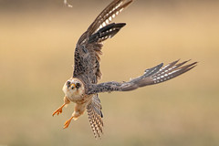 Red-footed Falcon / Roodpootvalk (Wim Hoek) Tags: 2018 natuur wildlife roodpootvalk juni birds roofvogel outdoor valkachtigen jagend nature roemenië bird birdofprey birdsinthewild diereninhetwild falcovespertinus falconidae hunt hunting june natural naturalbeauty raptor raptors redfootedfalcon romania roofvogels vogels westernredfootedfalcon naturalbackground județulconstanța ro