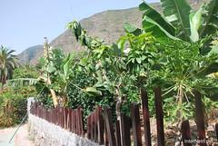 Канарський сад-город, Гомера, Канарські острови  InterNetri  0629
