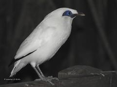 Etourneau de Rothschild (Leucopsar rothschildi) (Annelise LE BIAN) Tags: animaux martinderotschild servion suisse oiseaux explore coth coth5 sunshine damn alittlebeauty
