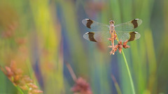 Bandheidelibel / Banded Darter / Sympetrum pedemontanum (Wim Boon Fotografie) Tags: wimboon libel dragonfly bandeddemoiselle bandheidelibel macro macrofotografie nederland netherlands natuur nature canoneos5dmarkiii canon100mmf28lismacro