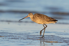 Marbled Godwit (Gary McHale) Tags: sea beach sand water bird marbled godwit sunrise fort myers florida gary mchale