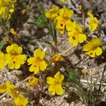 Carson Valley monkeyflower, Erythranthe carsonensis thumbnail