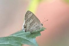 Strymon yojoa (fabriciodo2) Tags: strymonyojoa papillon butterfly macro nature sigma150 mexique yucatan