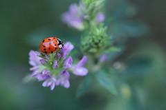 fortuna a me (@5imonapol) Tags: ladybug july summer bug nature macro flower