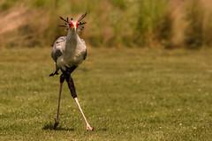 step in time (jeff.white18) Tags: secretarybird bird feathers nature eyes beak nikon