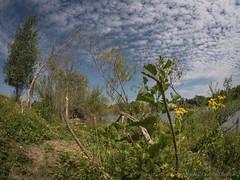 natuurgebied oude weerd . (nature photography by 3620ronny.be) Tags: 2018 belgie landscape nature outdoor naturephotography vijver rekem bomen limburg natuurgebied belgium www3620ronnybe natuurfotografie fisheyelenssamyangmft75mmf35 landschap panasoniclumixdmcgx8 oudeweerd