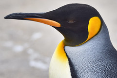 Emperor Penguin (Aptenodytes forsteri) (strongie471) Tags: emperorpenguin aptenodytes forsteri water bird flightless black white orange underwater nikon d5500 sigma lens 150600mm f563 dg os hsm contemporary zoo park