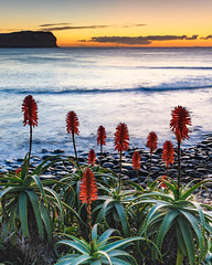Aloe Vera in Flower at the Seaside (Merrillie) Tags: daybreak landscape sunrise aloevera flowers nature water dawn macmasters centralcoast morning sea newsouthwales rocks earlymorning nsw plant clouds ocean flora cloudy waterscape coastal macmastersbeach outdoors seascape australia coast sky waves