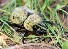 The Little Rhinoceros (Lisa Zins) Tags: lisazins tn tennessee dynastes tityus arthropod hexapoda insect beetle coleoptera polyphaga horn scarab male eastern hercules easternherculesbeetle bug tennesseebugs green spotted canon rebel t7i macro tamronmacrolens backyard