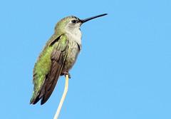 Anna's Hummingbird -- Female (Calypte anna); Catalina, AZ [Lou Feltz] (deserttoad) Tags: nature arizona bird wildbird songbird hummingbird desert flight flower bloom mesquite